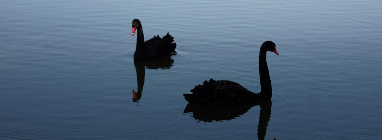 black-swan-621771_1920